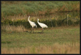 Whooping cranes