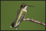 Ruby-throated hummingbird ©  Liz Stanley
