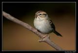 Chipping sparrow ©  Liz Stanley