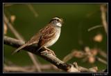 White-throated sparrow ©  Liz Stanley