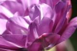 Fancy Double Tulip
