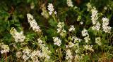 White Rock Larkspur (Delphinium leucophaeum)