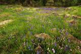 Saxifrage, Rosy Plectritis, and Camas study #1
