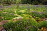 Saxifrage, Rosy Plectritis, and Camas study #3