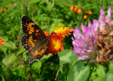 Harris's Checkerspot 1