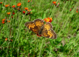 Harris's Checkerspot 2