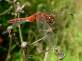 Cherry-faced or Ruby Meadowhawk