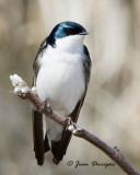 Tree Swallow  Mating Series