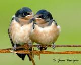 Bank ,Barn & Tree Swallows