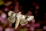 FV1_4908 Hecatera bicolorata - tweekleurige uil