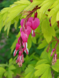 Dicentra, Goldheart