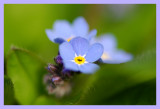 Dreamy Forget-Me-Not