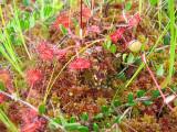 Venus flytrap, a marshland plant