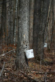 Tapping maple trees for the sap