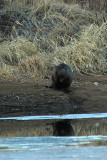 Beaver busy