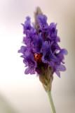 Lavender & Ladybug