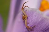 A spider visiting a Crocus flower