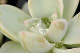 Succulent Tears