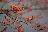 Red Maple in bloom