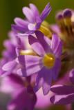 Primula denticulata
