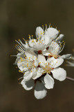 Wild Plums blooming in the woods