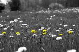 Dandelions rule!!