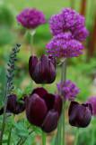 Tulips & Alliums