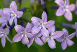 Amsonia, Blue Star