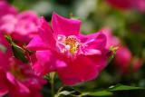 Rose 'William Baffin'