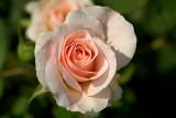 Rose 'Morden Blush'