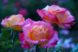 Rose, Love & Peace