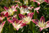 Asiatic Lily, Lollypop