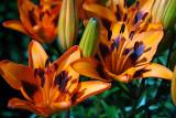 Asiatic Lily, Loreto