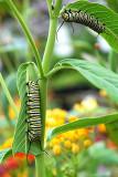 Monarch butterfly larva feeding on Milkweed