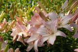'Lily on Steroids'