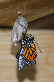 Metamorphosis of a Monarch Butterfly