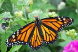In all it's beauty - Female Monarch