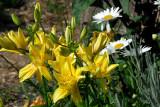 Asiatic Lily, Double - Fata Morgana