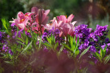 Phlox & Lilies