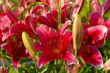 Oriental Lily, Cobra