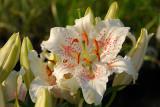 Oriental Lily, Muskadet