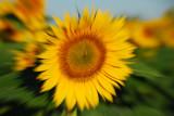 Sunflower Burst - multiple exposure
