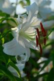 Oriental Lily, Casablanca