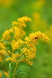 Goldenrod with ladybug