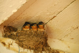The last batch of Swallows - almost ready to go