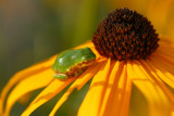 Tiny Tree Frog on Rudbeckia