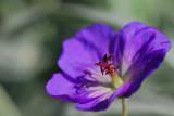 Geranium, Jolly Bee