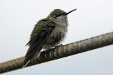 Hummingbird left in my greenhouse