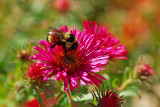 Asters are one of the last nectar sources