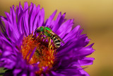 A green bee? ?
